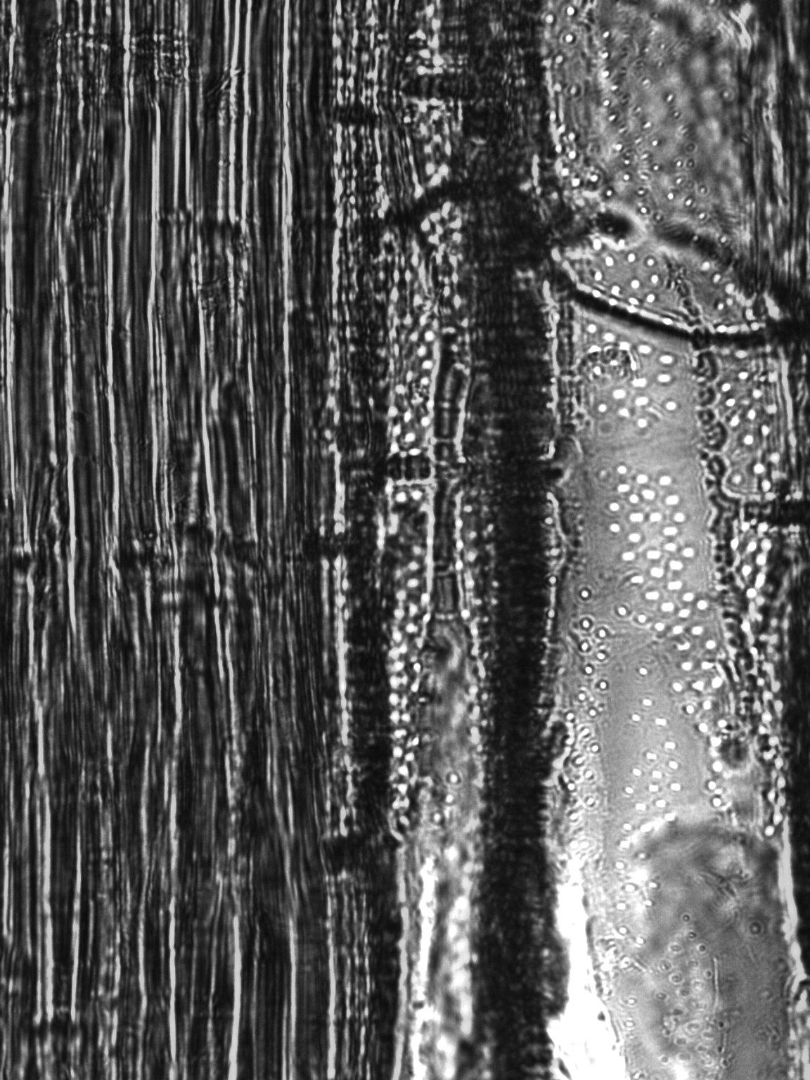 BIGNONIACEAE Tecoma cochabambensis