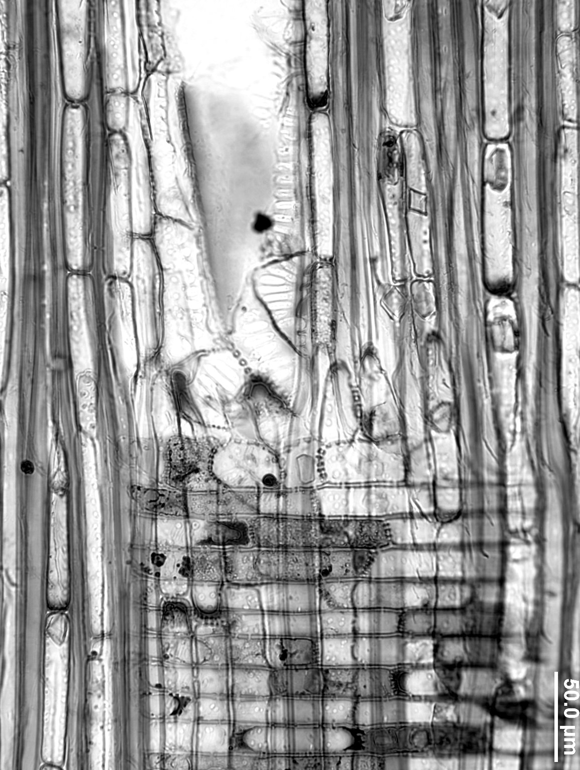 MALVACEAE BROWNLOWIOIDEAE Diplodiscus paniculatus