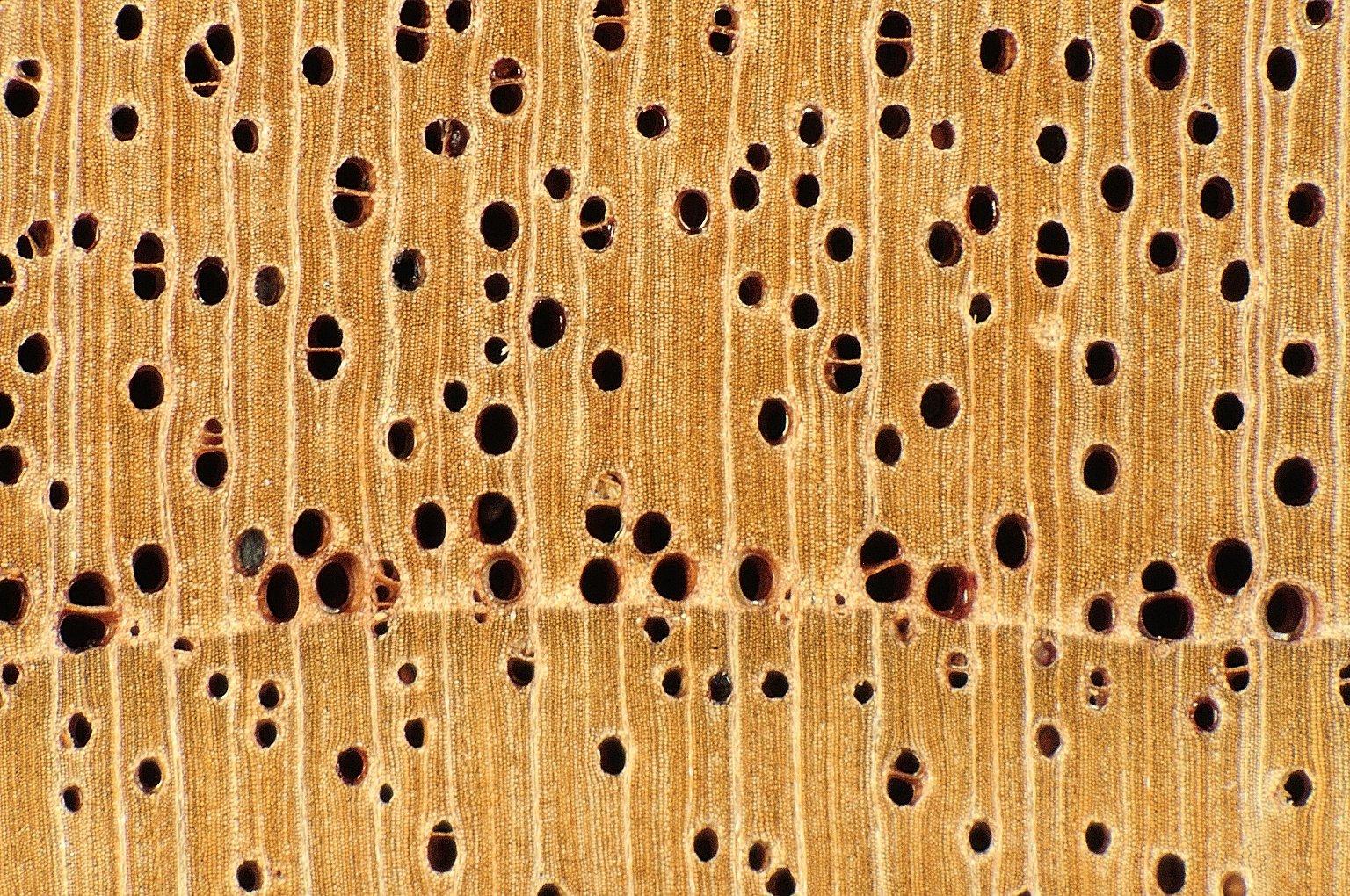 MELIACEAE Toona australis