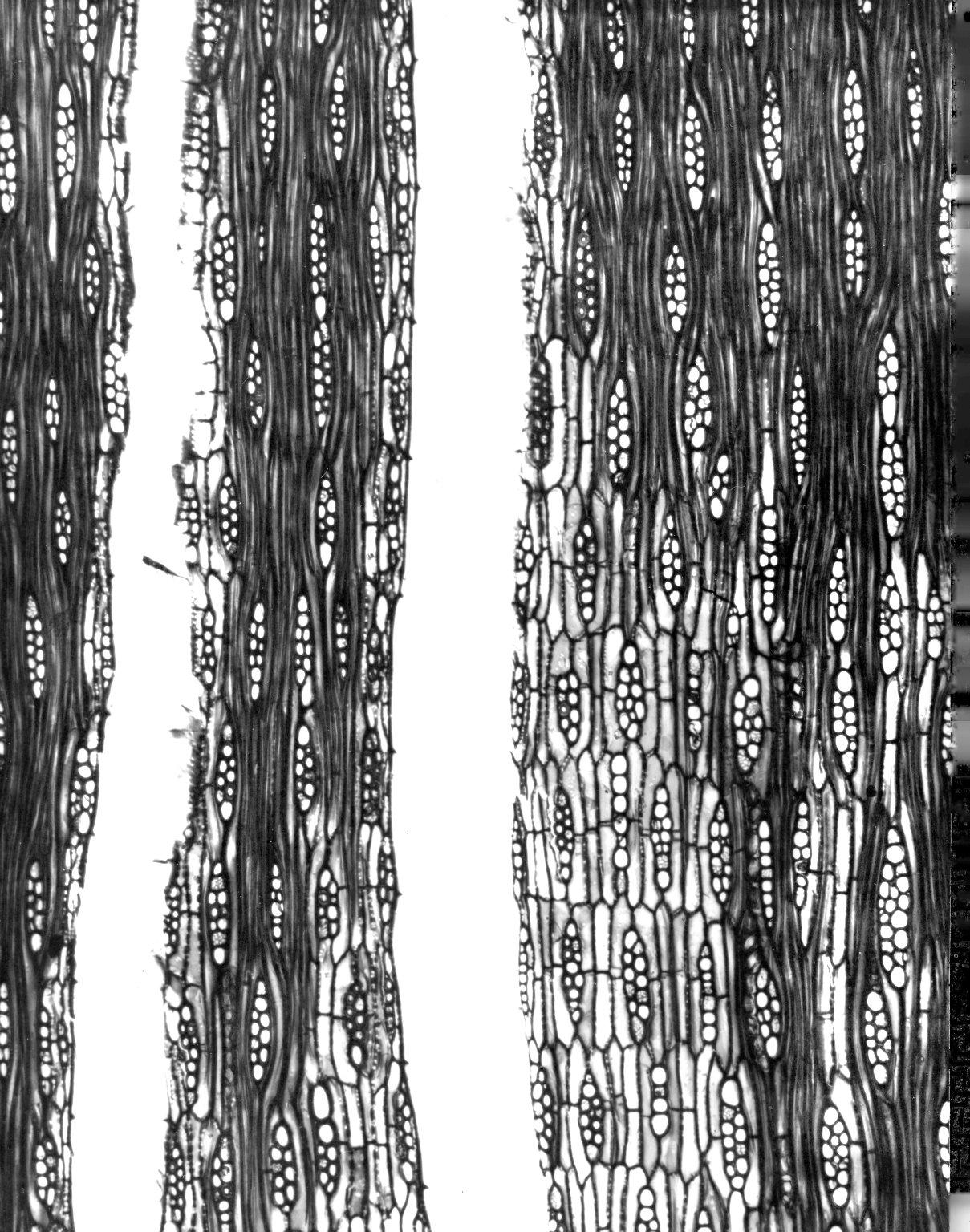LEGUMINOSAE PAPILIONOIDEAE Dalbergia madagascariensis