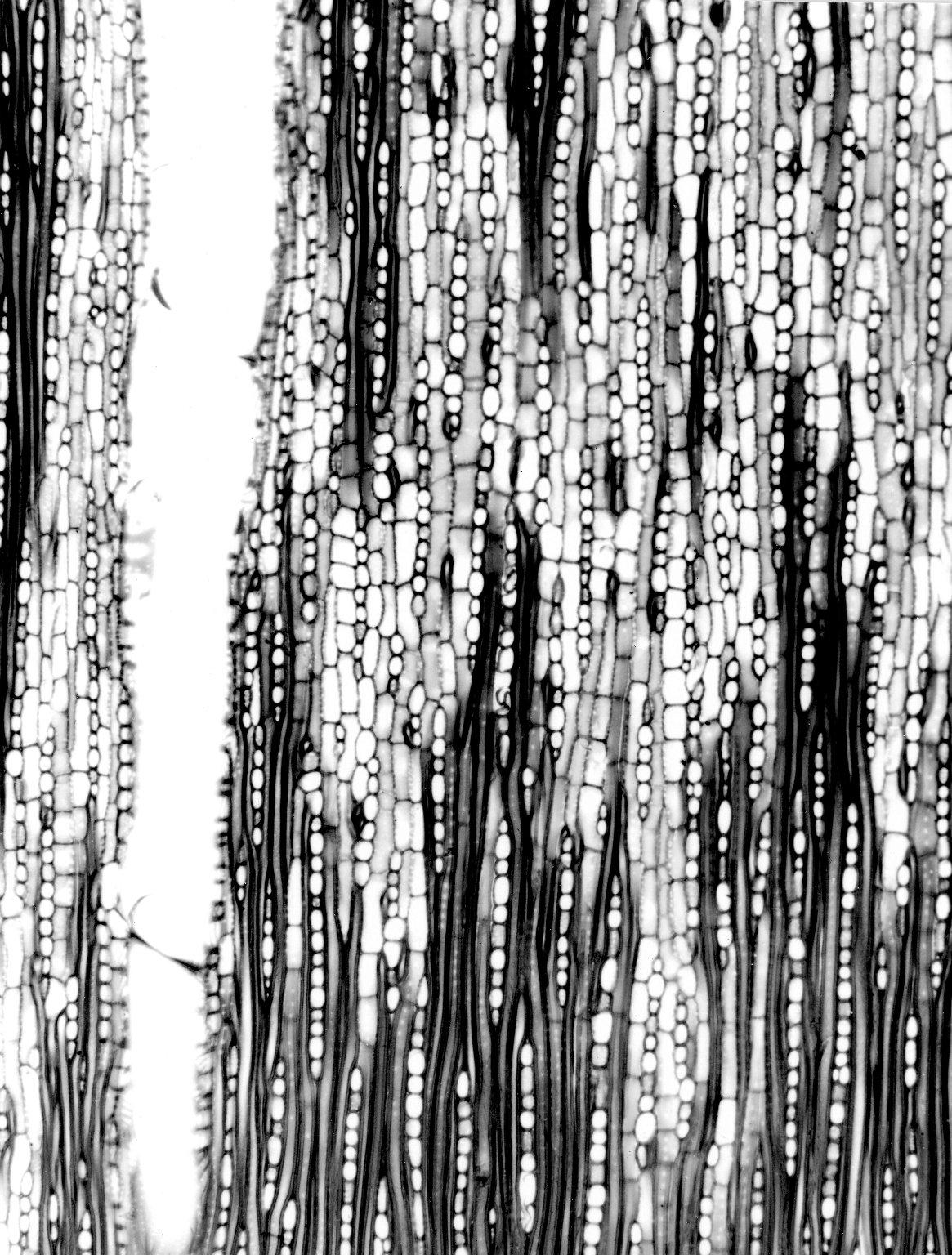CHRYSOBALANACEAE Parinari curatellifolia