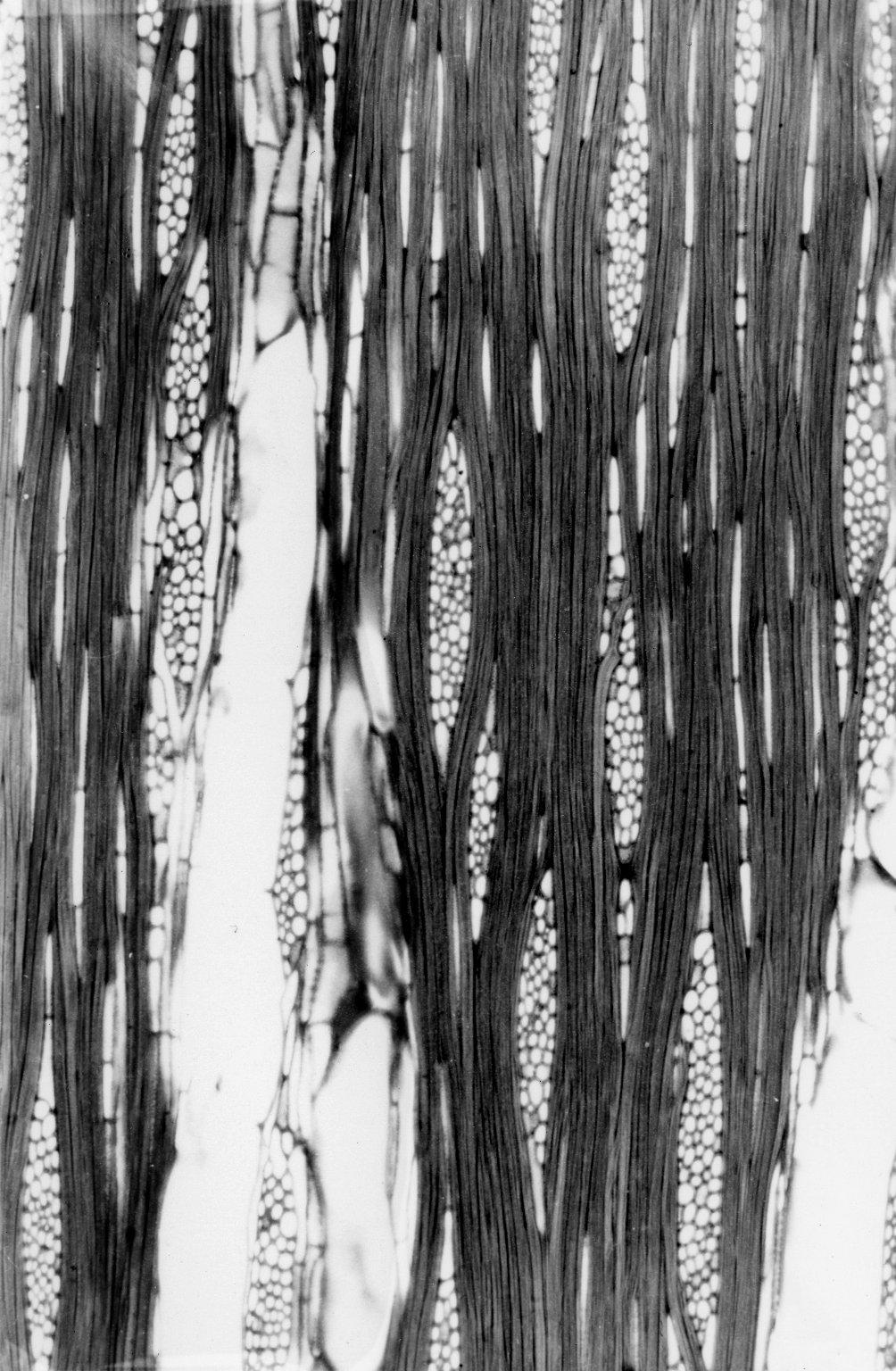 CLUSIACEAE Garcinia orthoclada