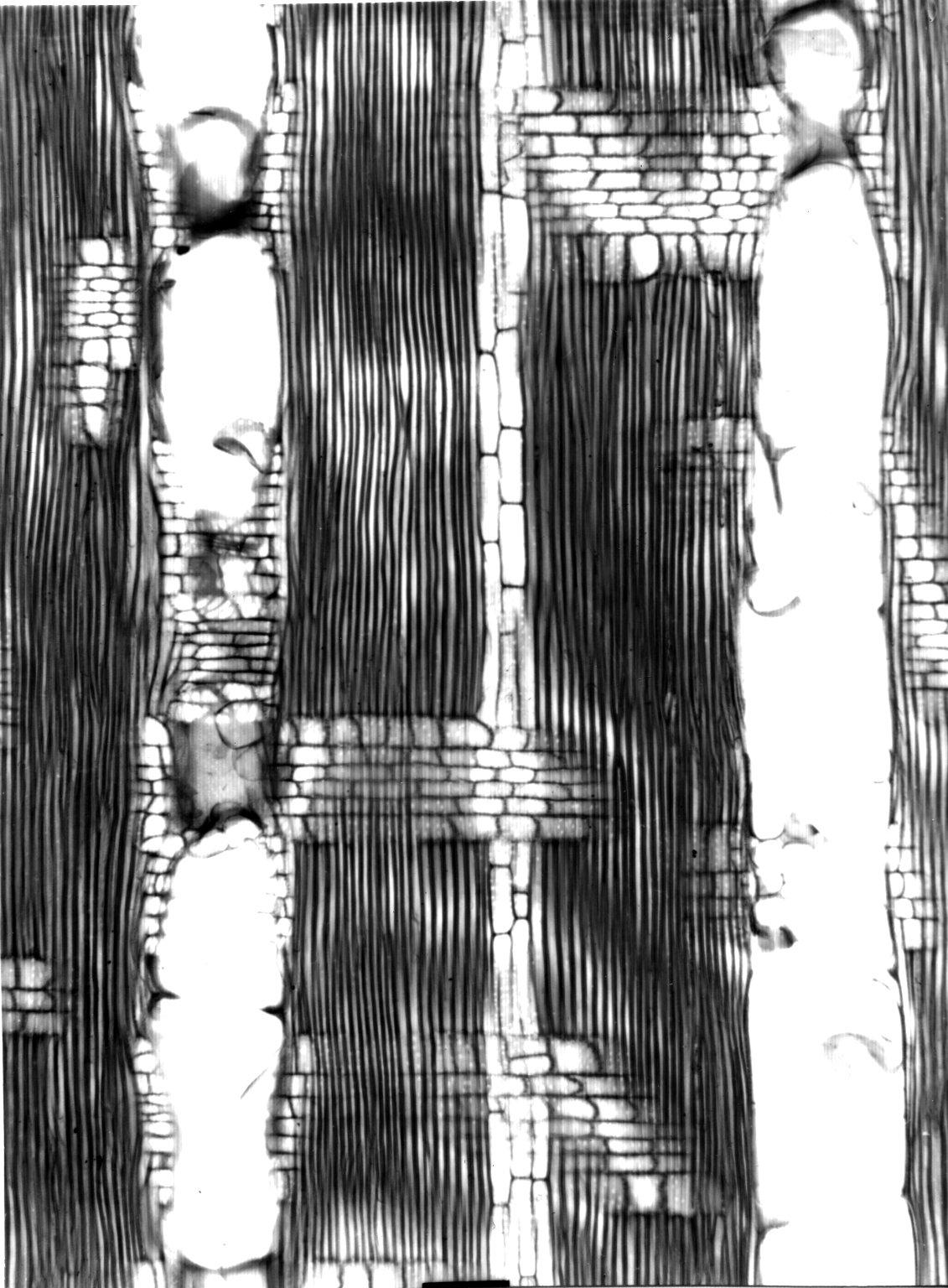 CALOPHYLLACEAE Calophyllum drouhardii