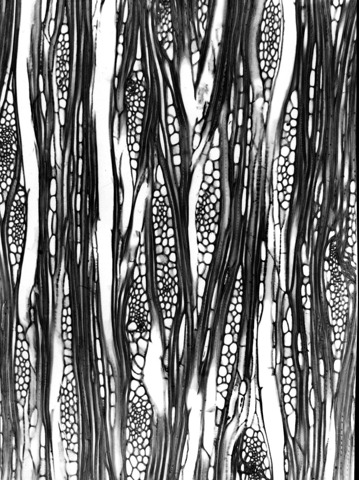 CARDIOPTERIDACEAE Leptaulus citrioides