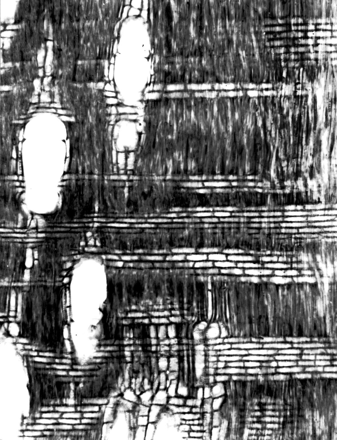 BIGNONIACEAE Phyllarthron madagascariense