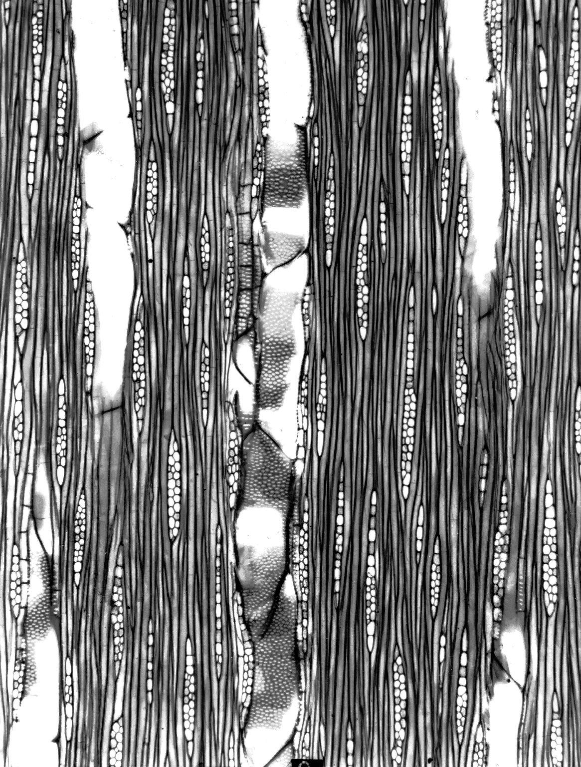 BURSERACEAE Protium madagascariense