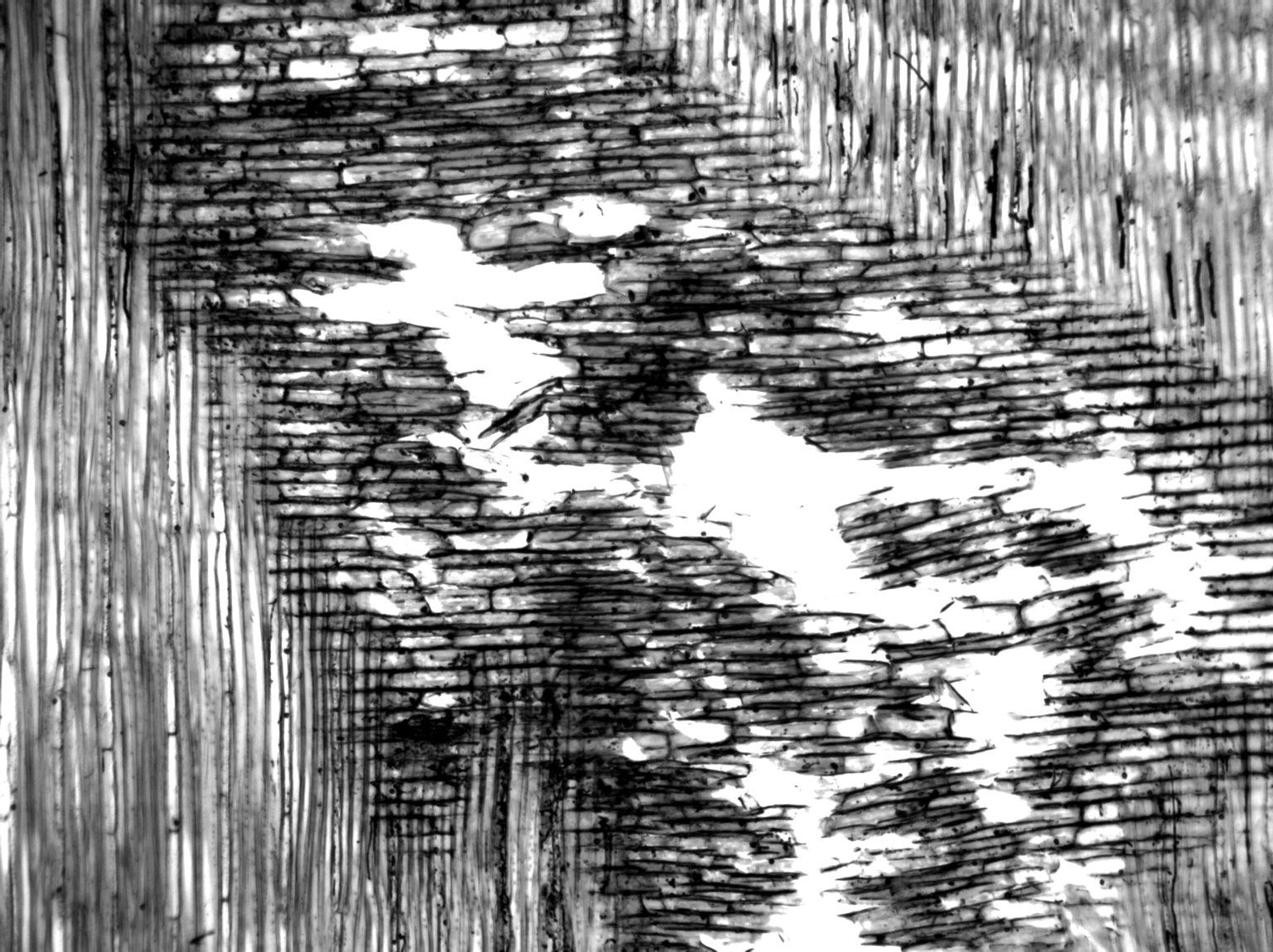 ANNONACEAE Mezzettia parviflora