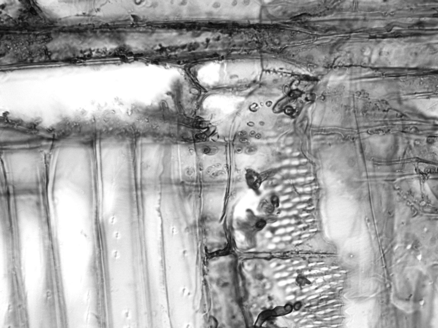 ANNONACEAE Xylopia aethiopica