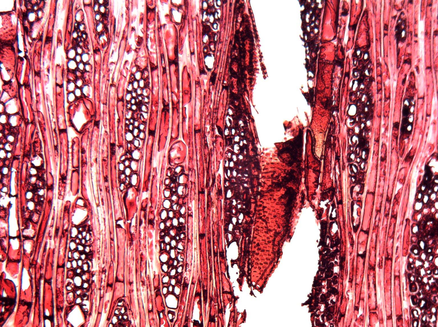 ANACARDIACEAE Harpephyllum caffrum