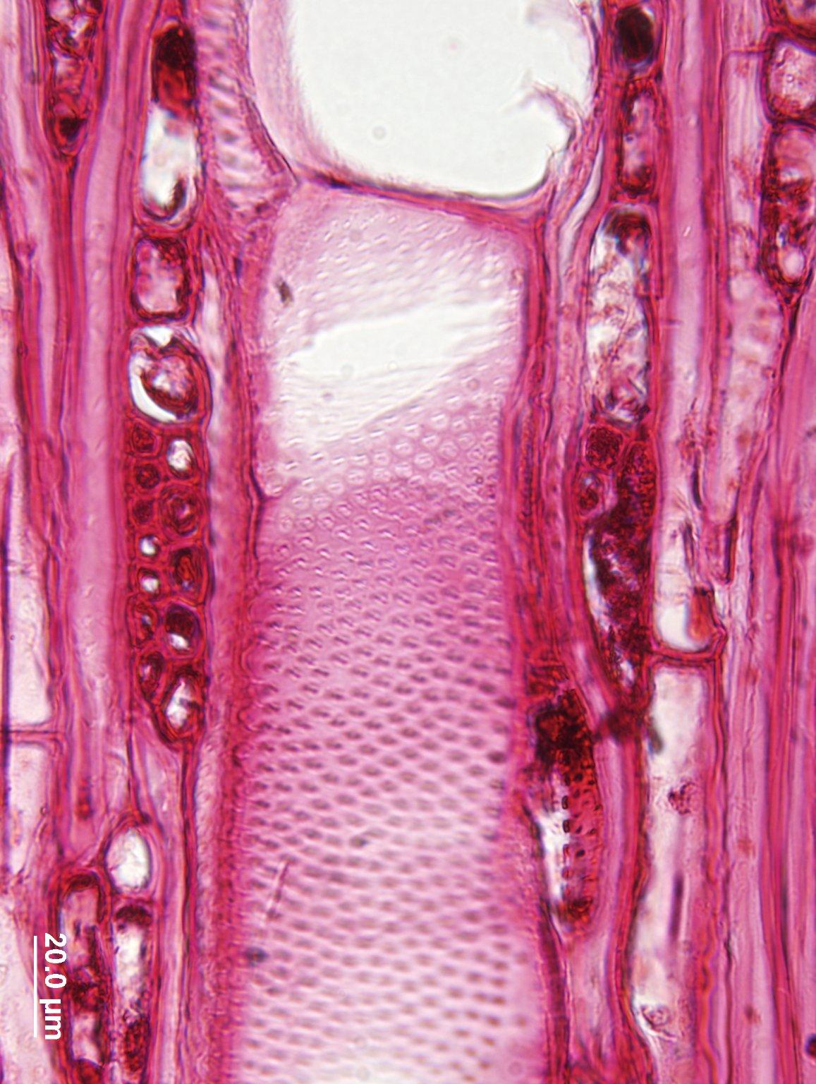 MYRTACEAE Psidium guajava