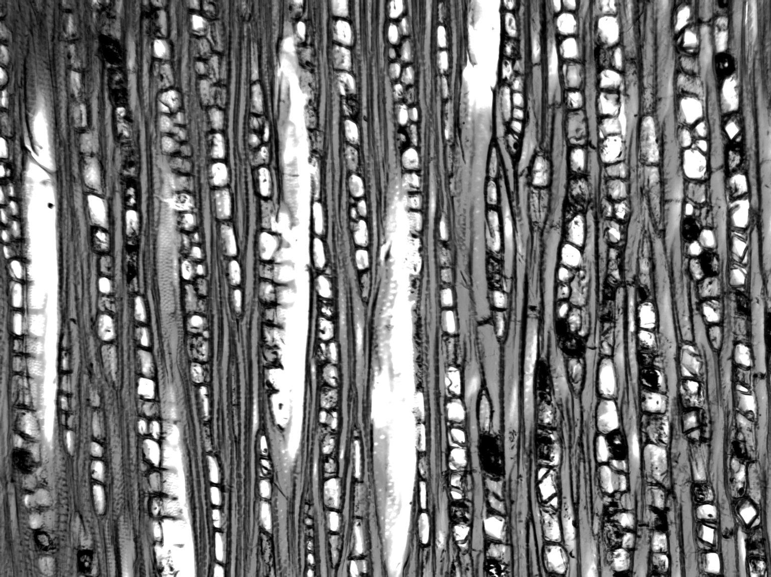 CELASTRACEAE Gymnosporia senegalensis