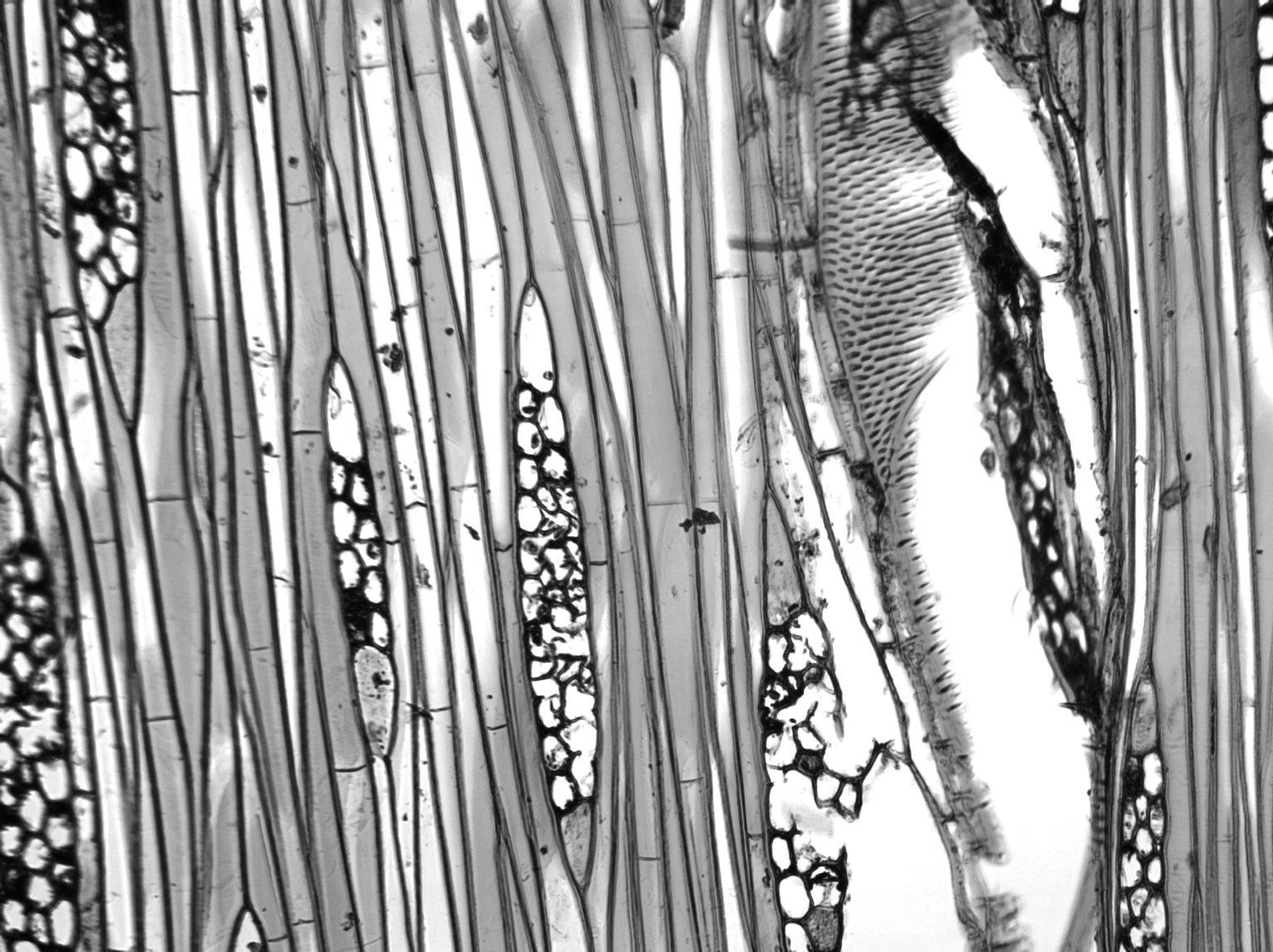 BURSERACEAE Trattinnickia demerarae
