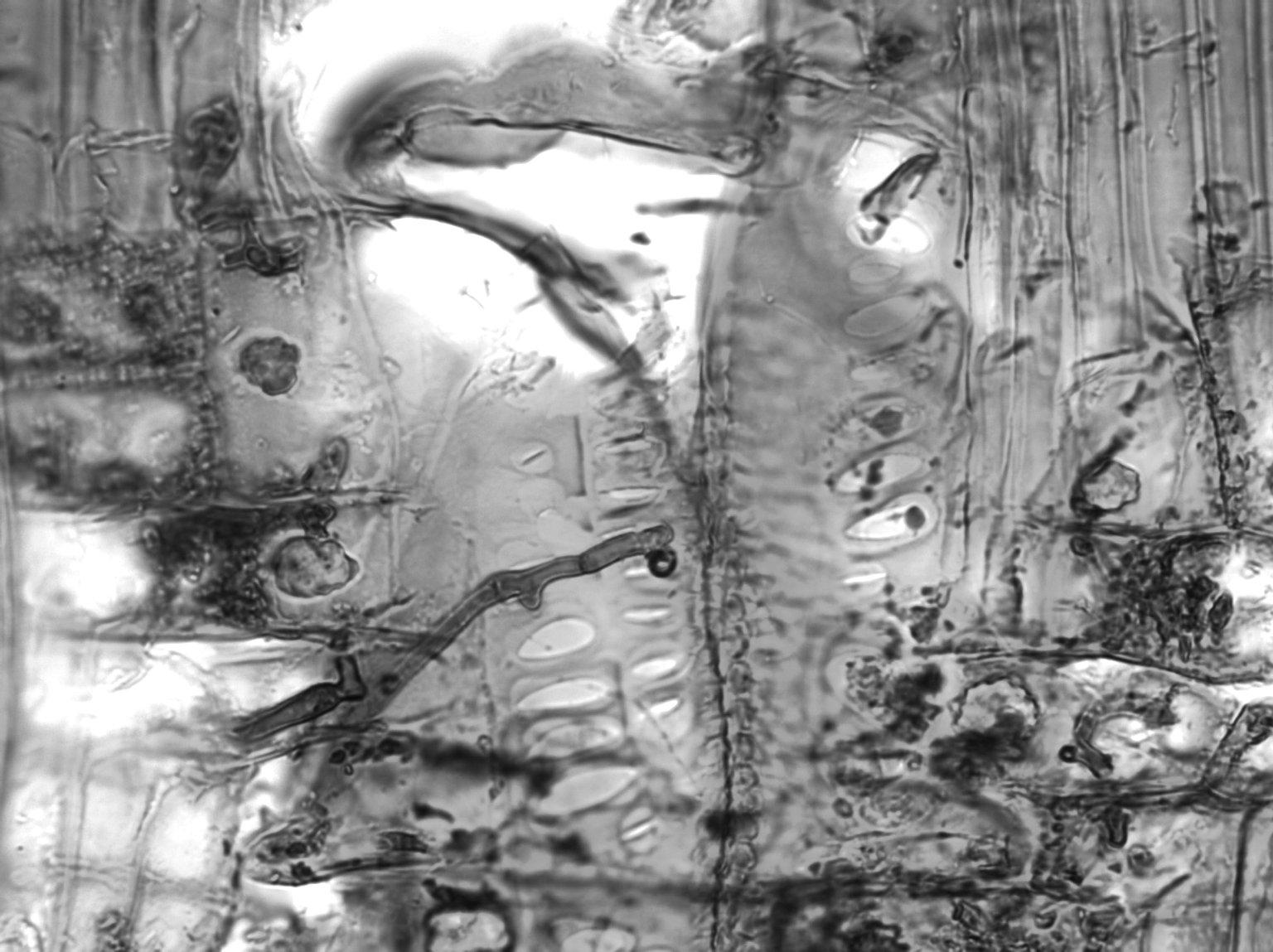 BURSERACEAE Dacryodes macrocarpa