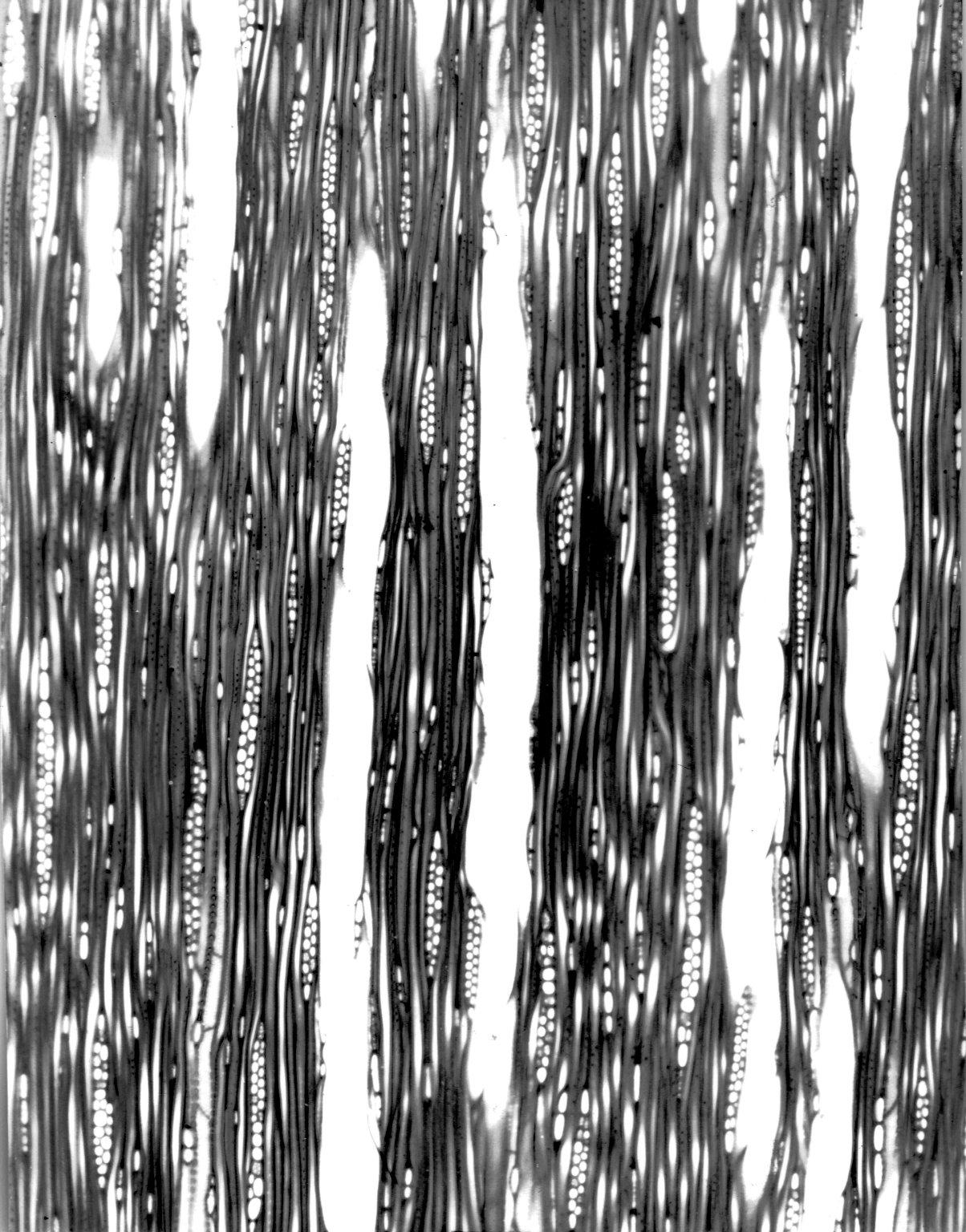 BUXACEAE Buxus macrocarpa