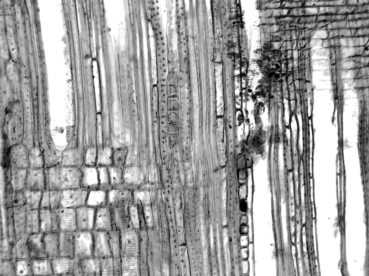 PARACRYPHIACEAE Quintinia acutifolia