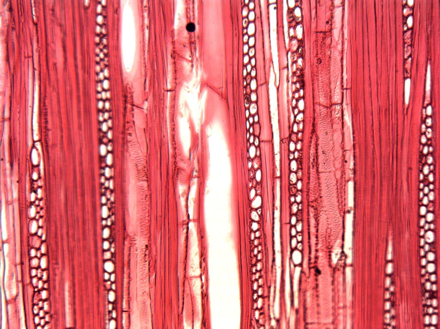 CLUSIACEAE Garcinia mannii
