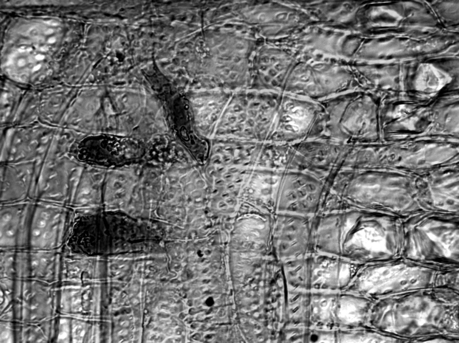 CELASTRACEAE Hippocratea volubilis