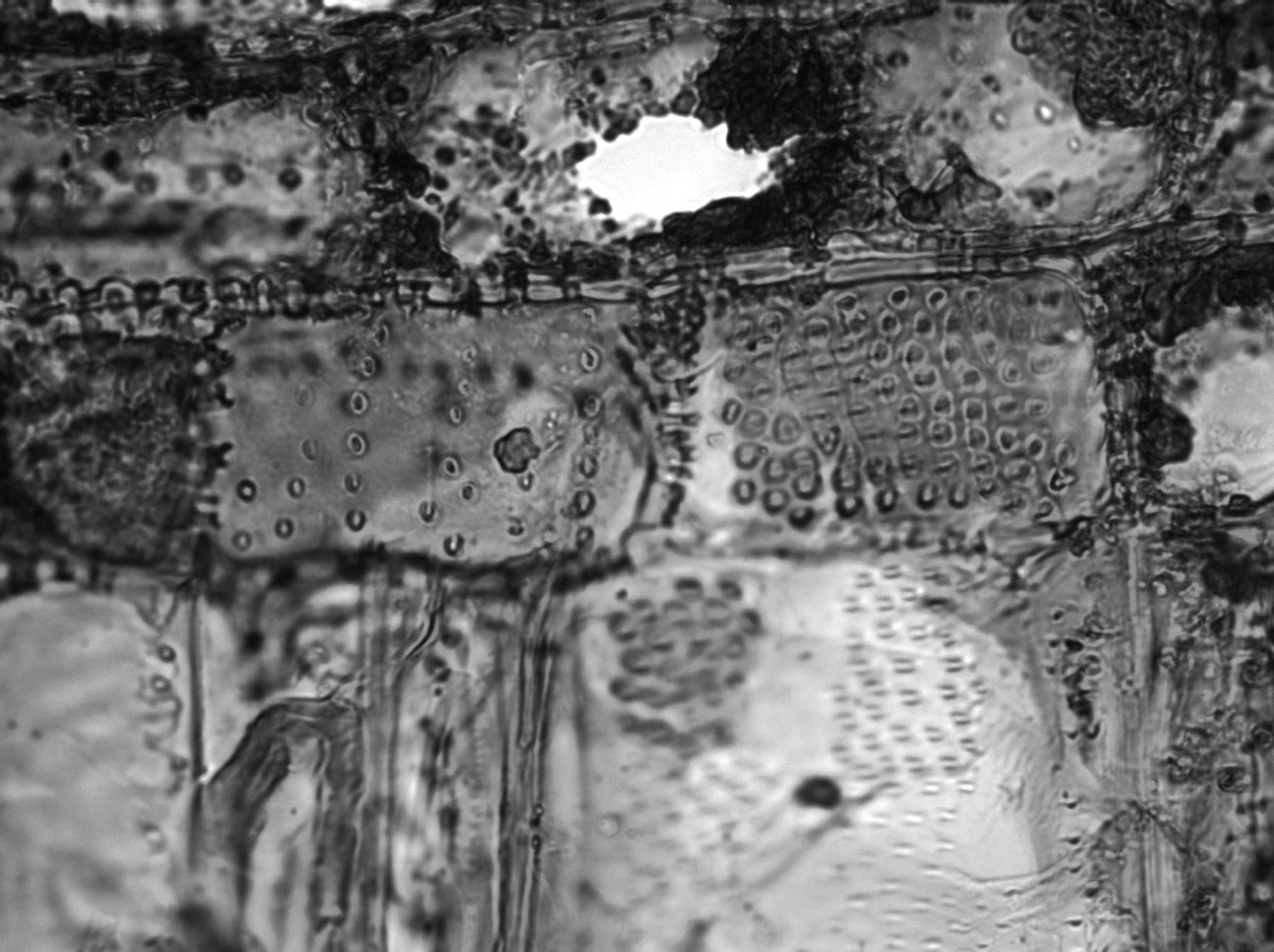 MALPIGHIACEAE Spachea elegans