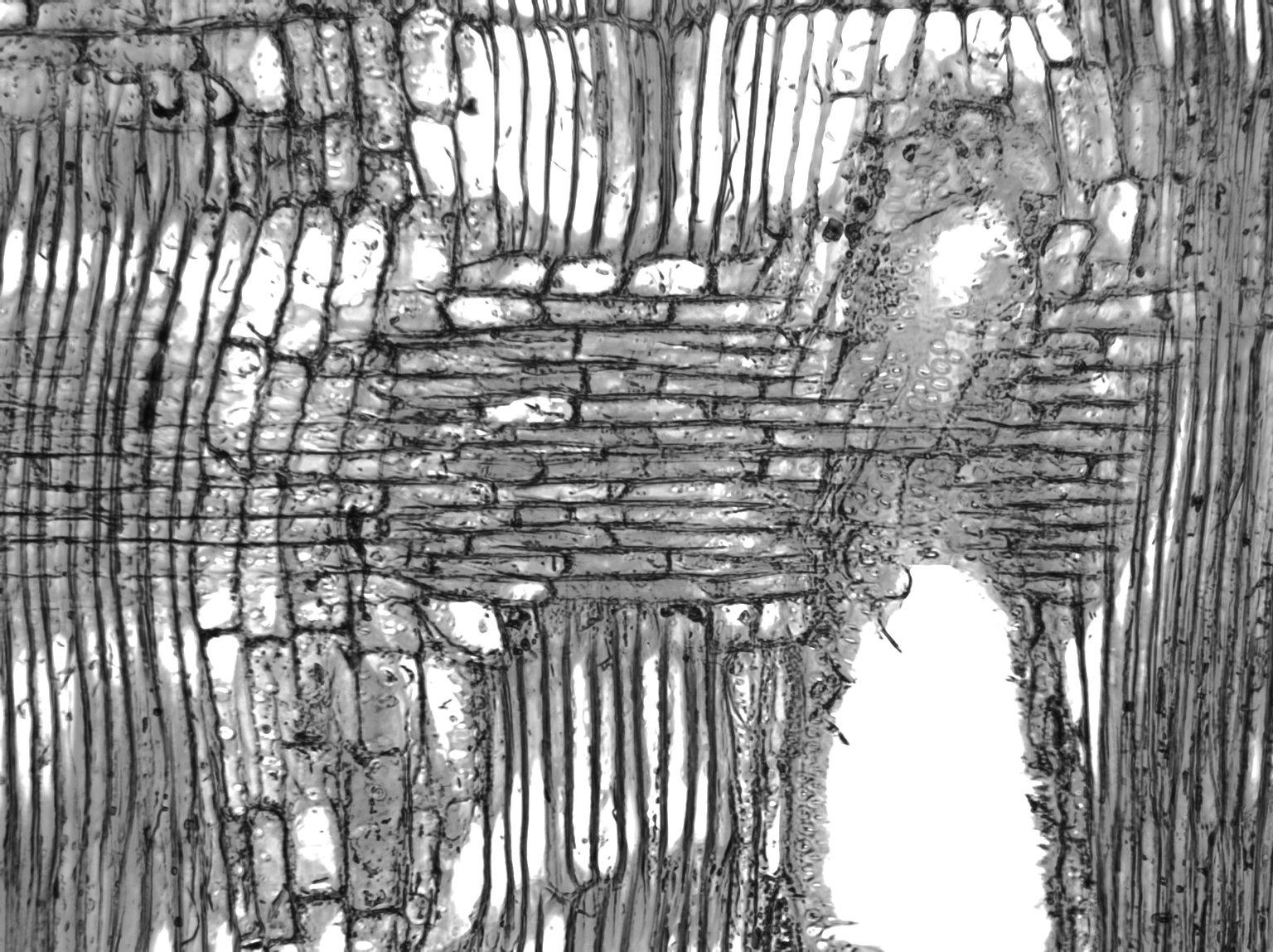 MORACEAE Artocarpus integer