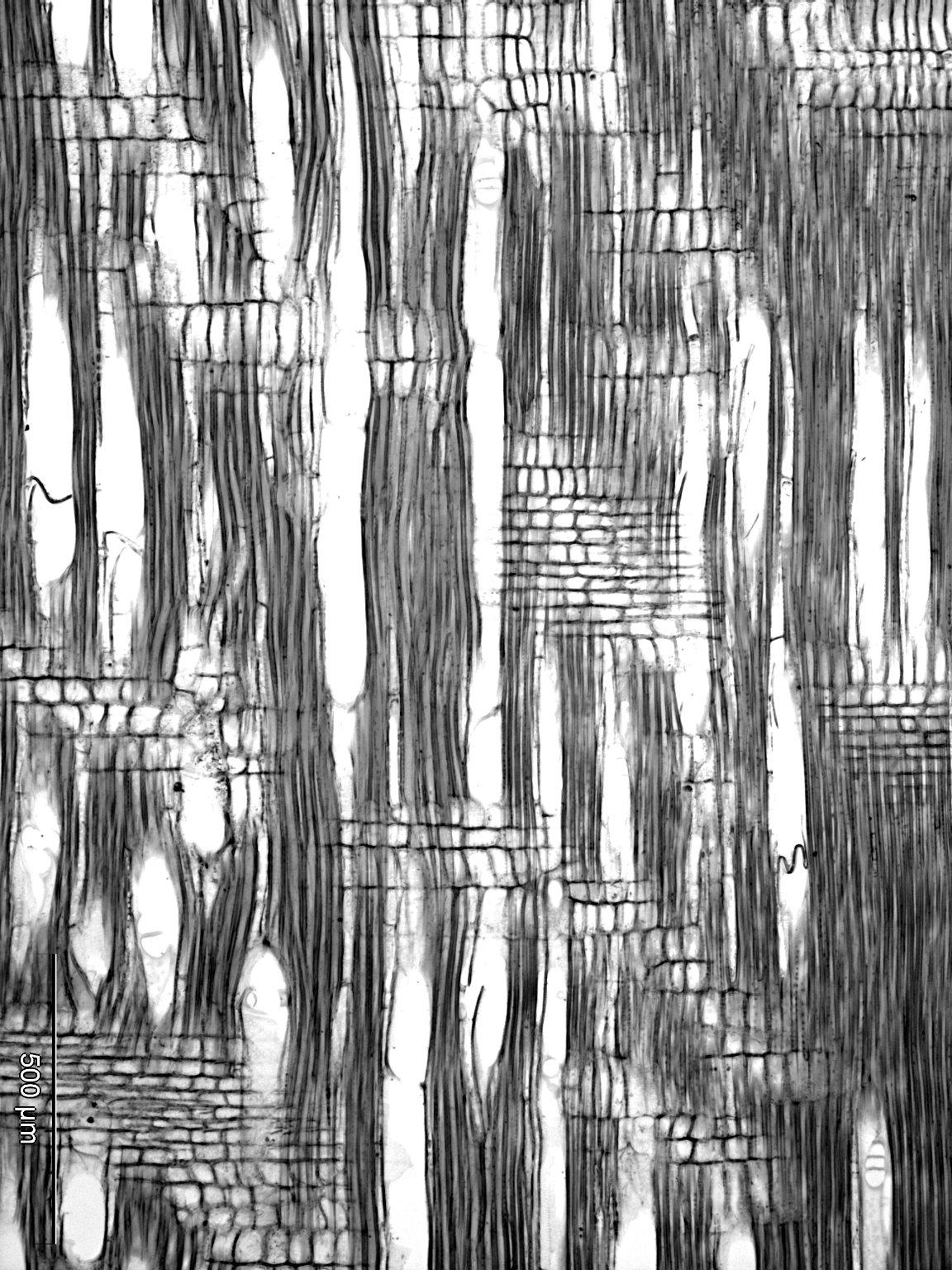 CARDIOPTERIDACEAE Leptaulus daphnoides