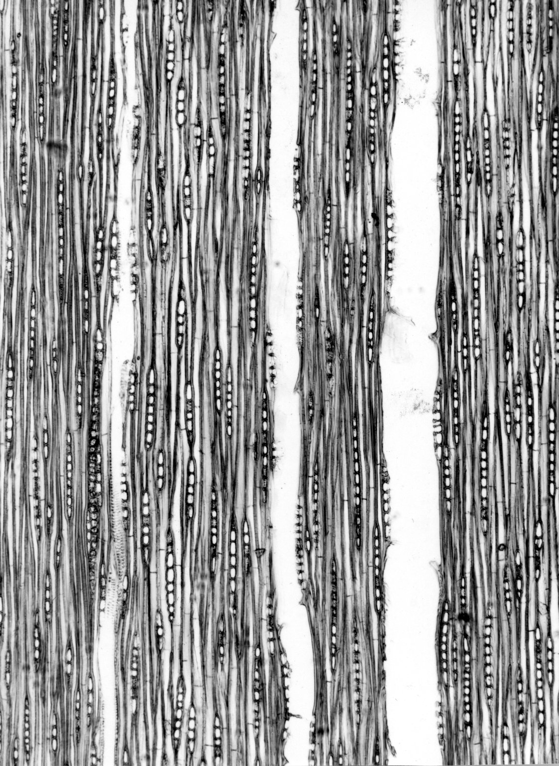 CONNARACEAE Ellipanthus madagascariensis