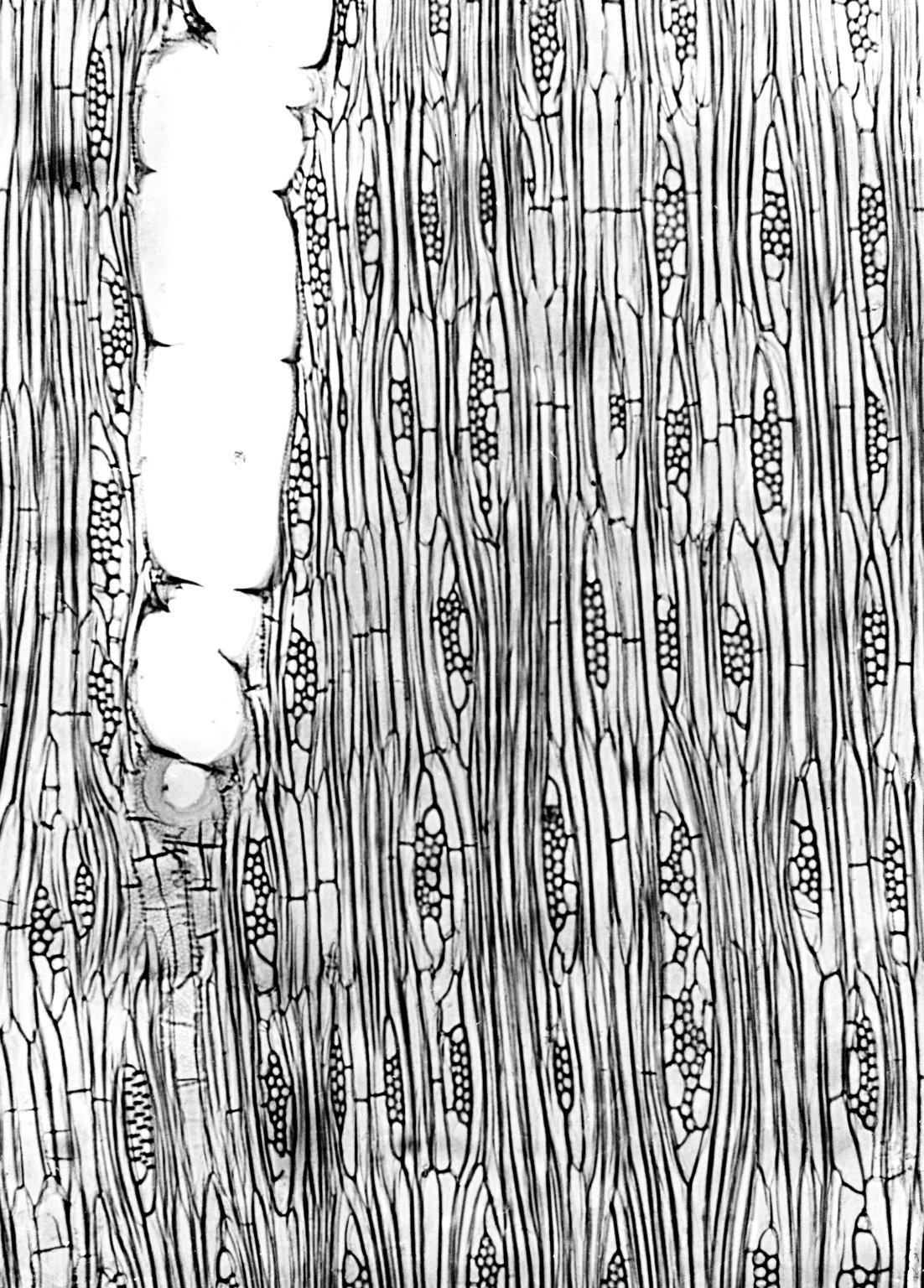 MALVACEAE MALVOIDEAE Hibiscus lasiococcus