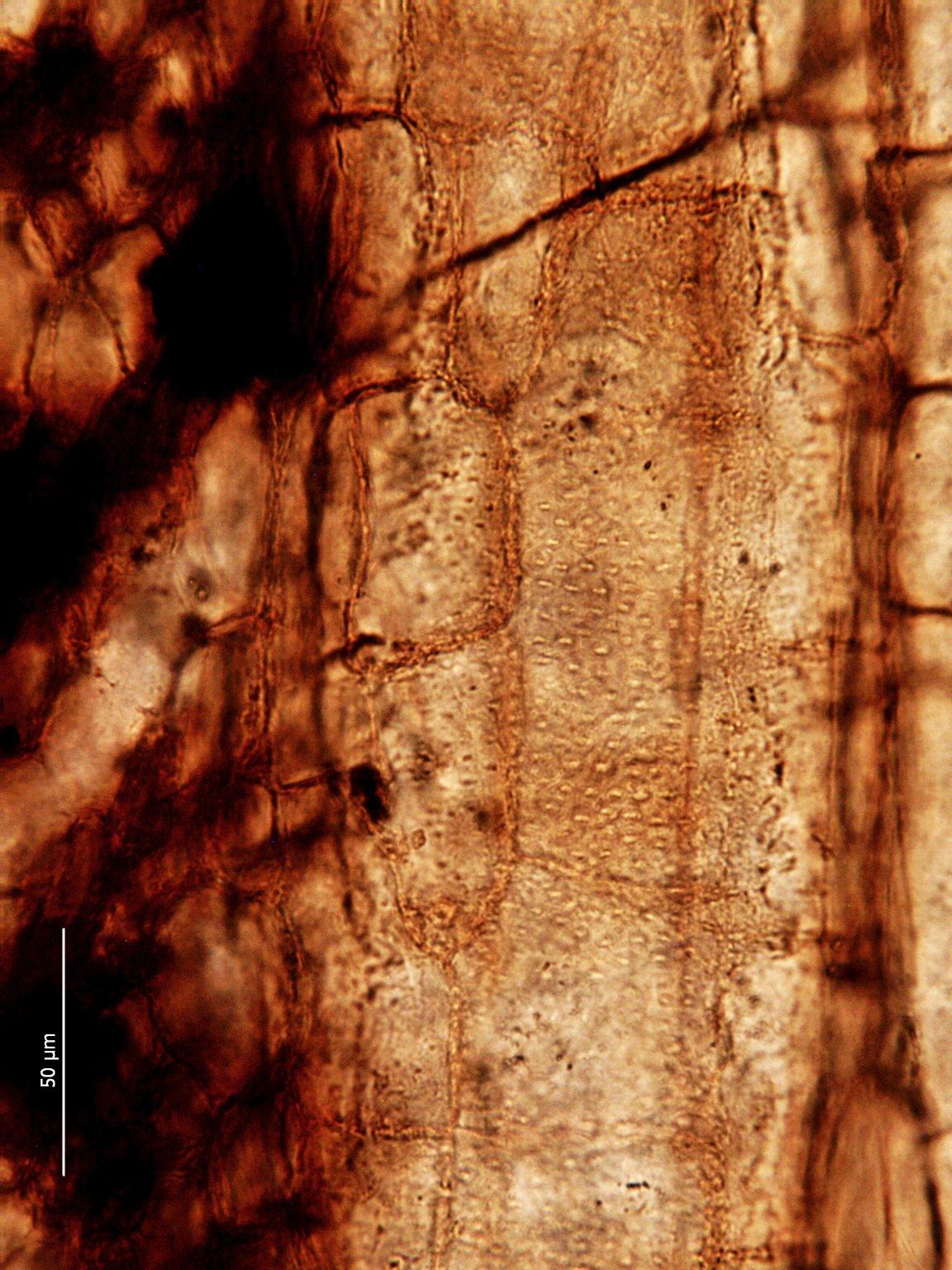 MALVACEAE FOSSIL Grewinium canalisum