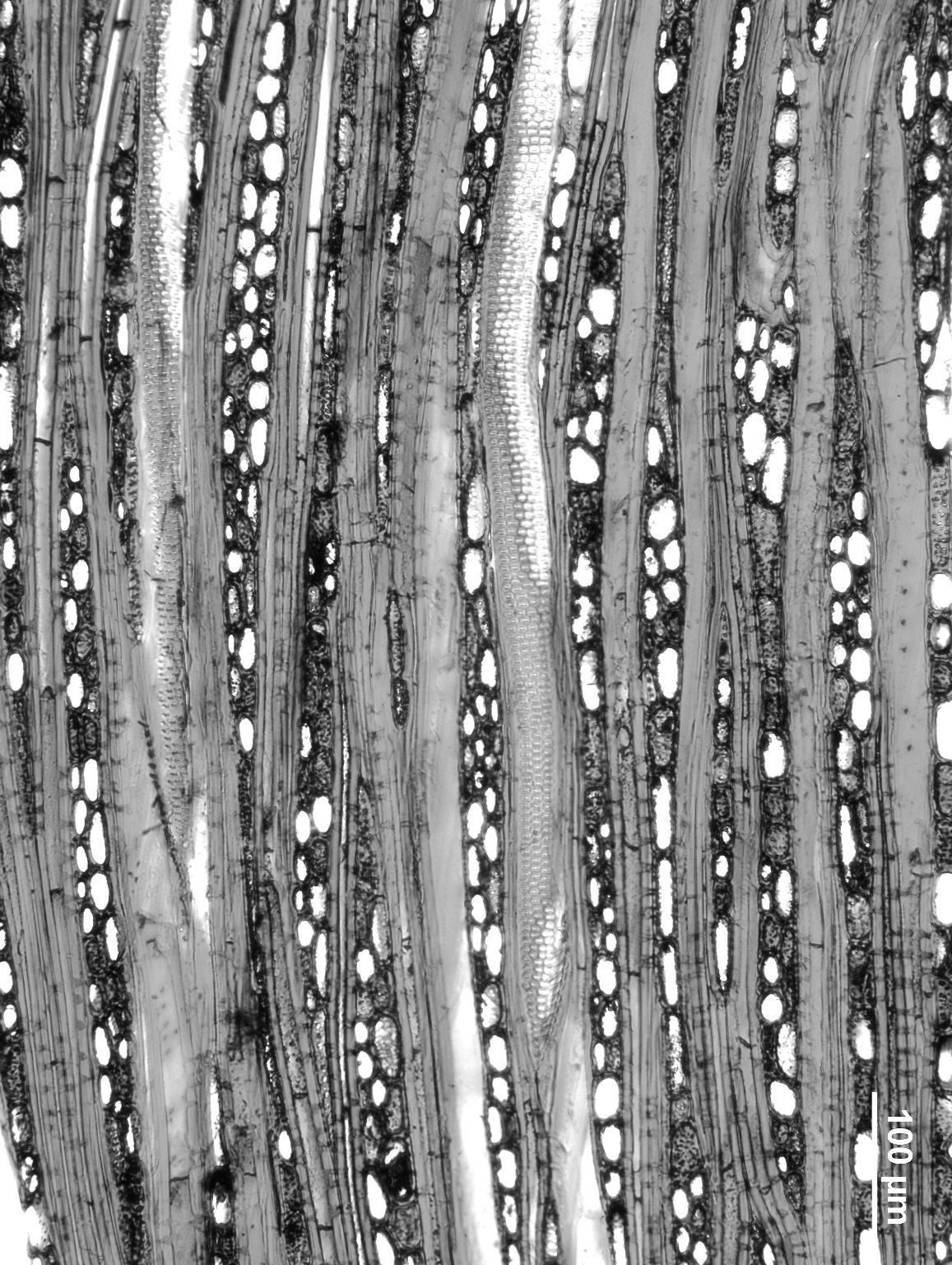 ACHARIACEAE Hydnocarpus alpina