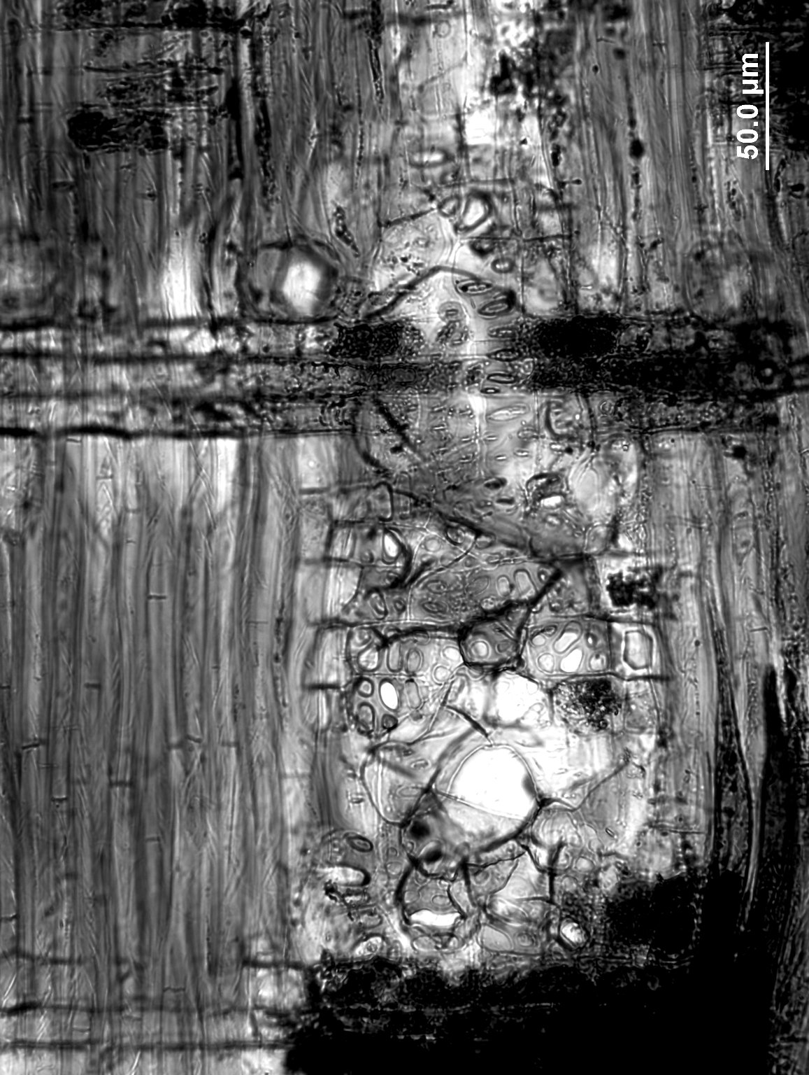 ANACARDIACEAE Astronium balansae