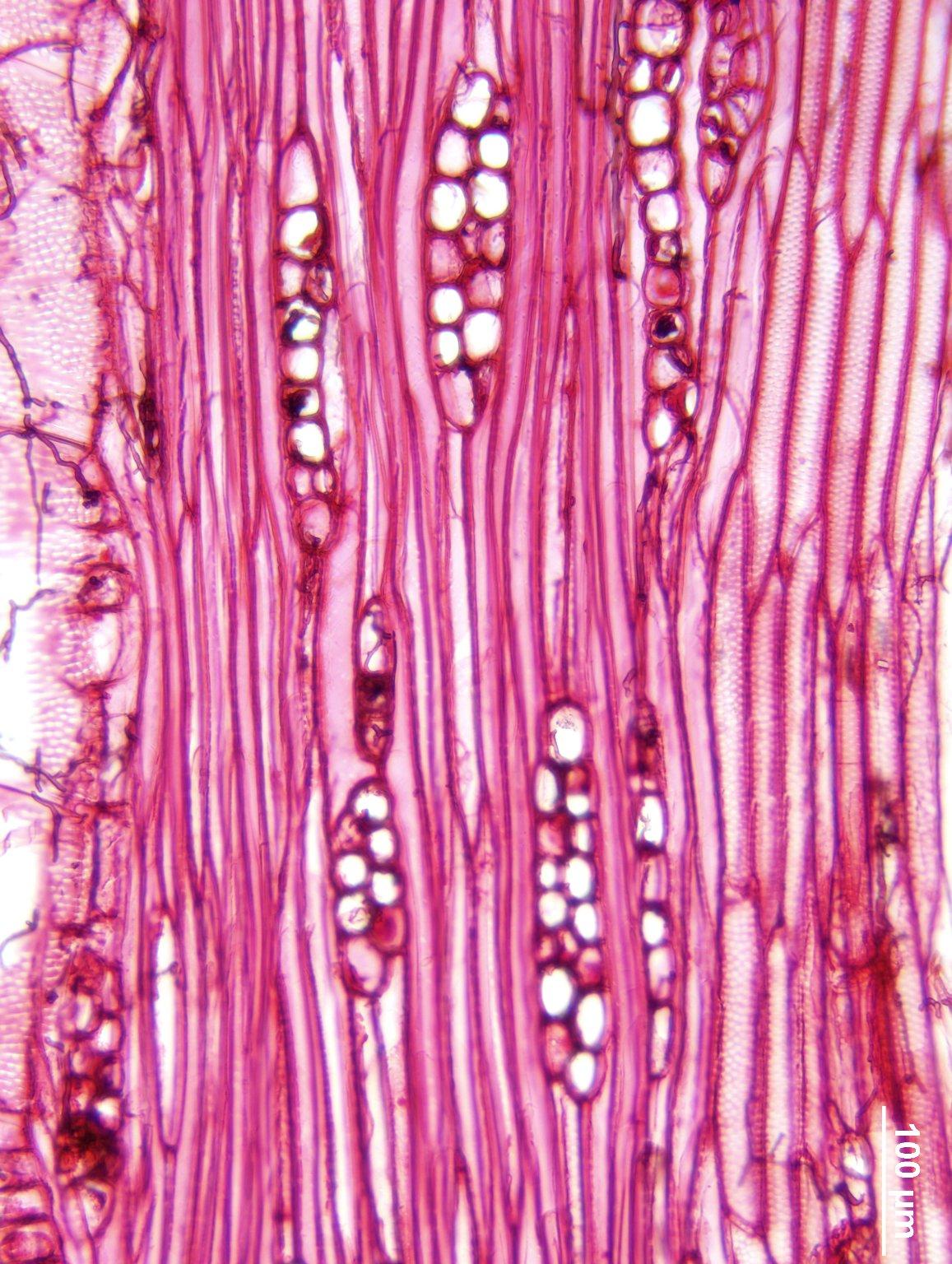 NYCTAGINACEAE Pisonia aculeata