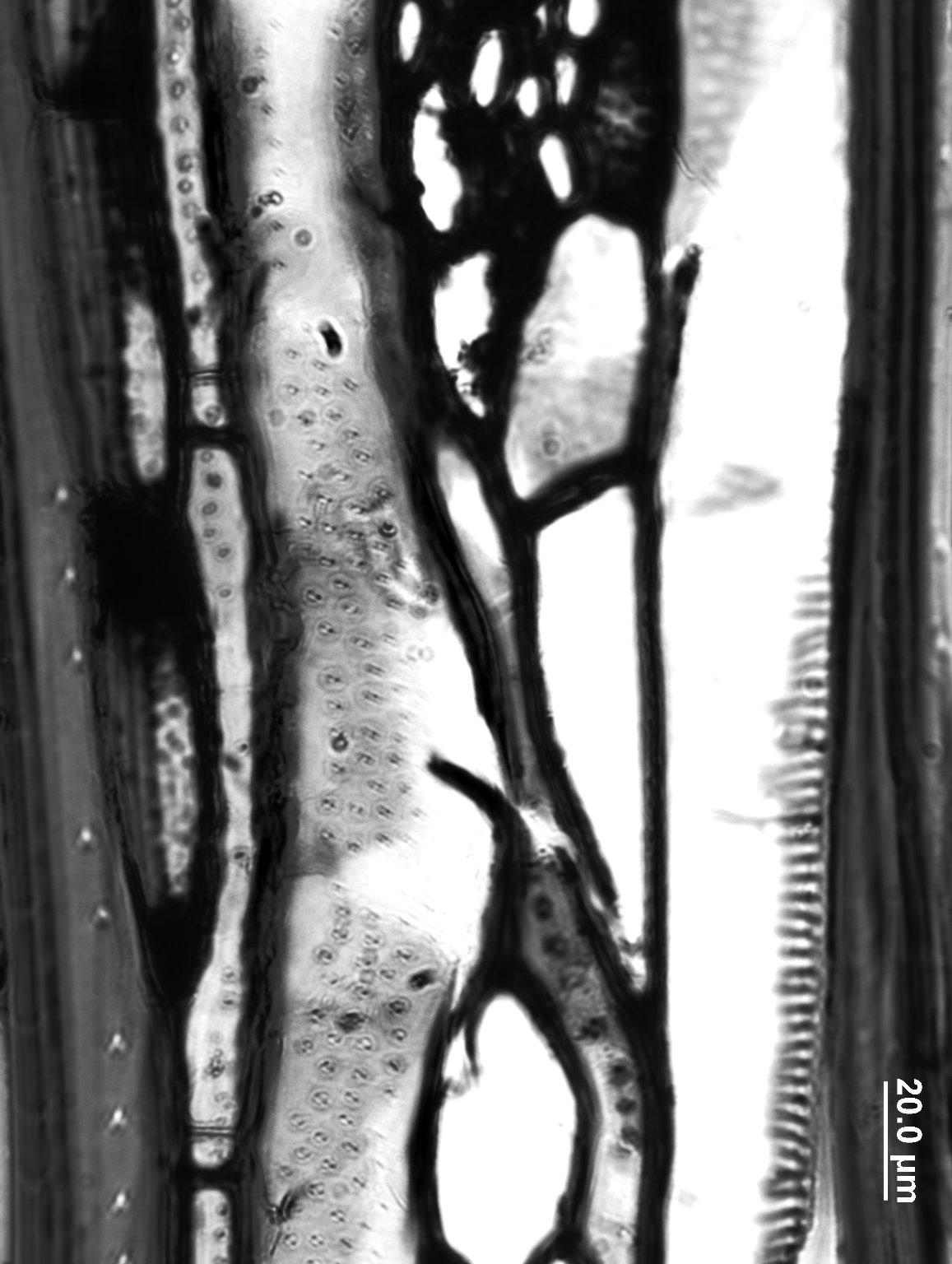 CLETHRACEAE Clethra arborea
