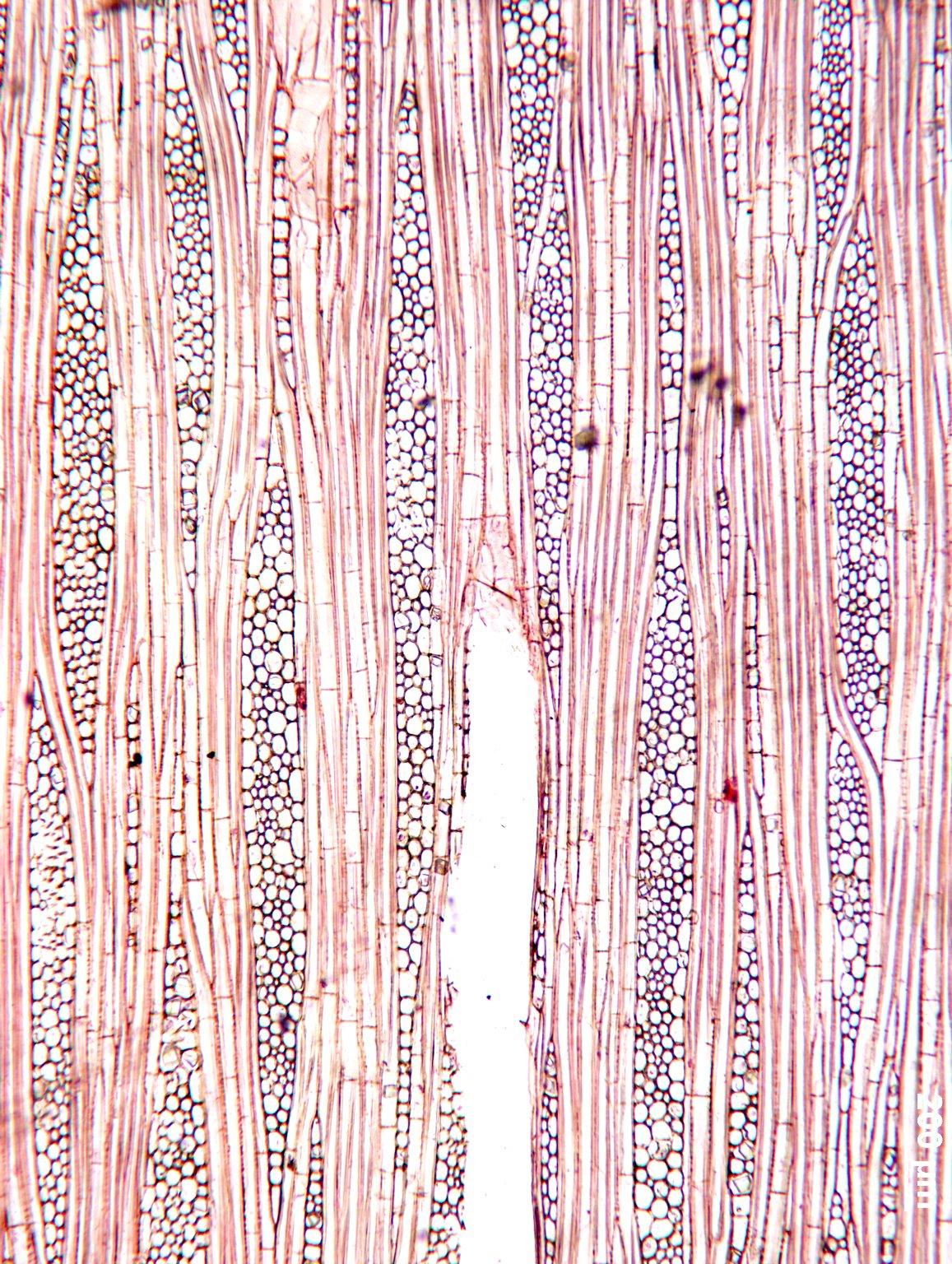 MALVACEAE TILIOIDEAE Mortoniodendron anisophyllum