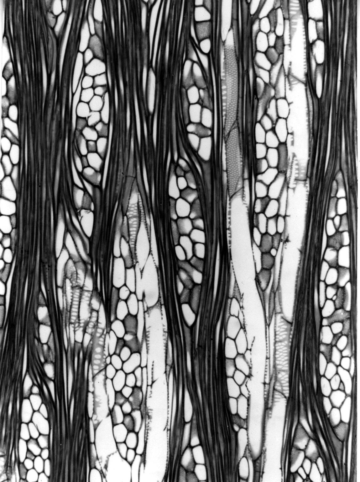 DIDIEREACEAE Alluaudiopsis fiherenensis