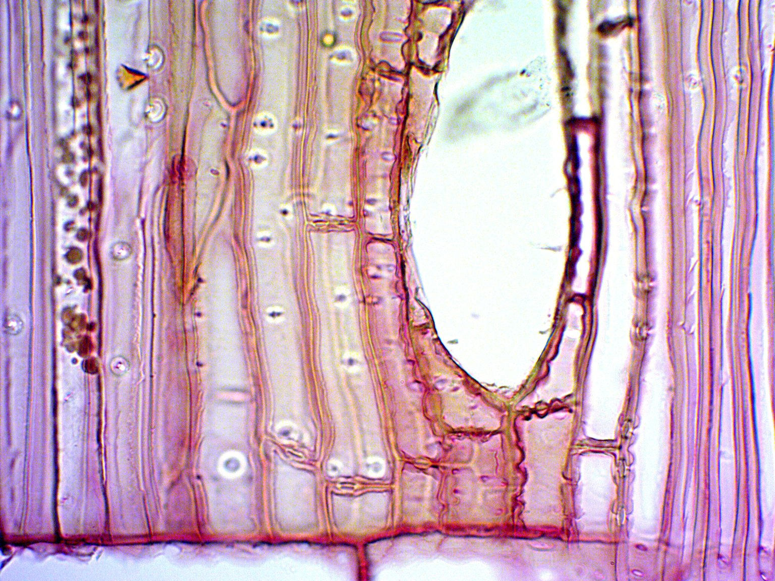 CUPRESSACEAE Sequoia sempervirens