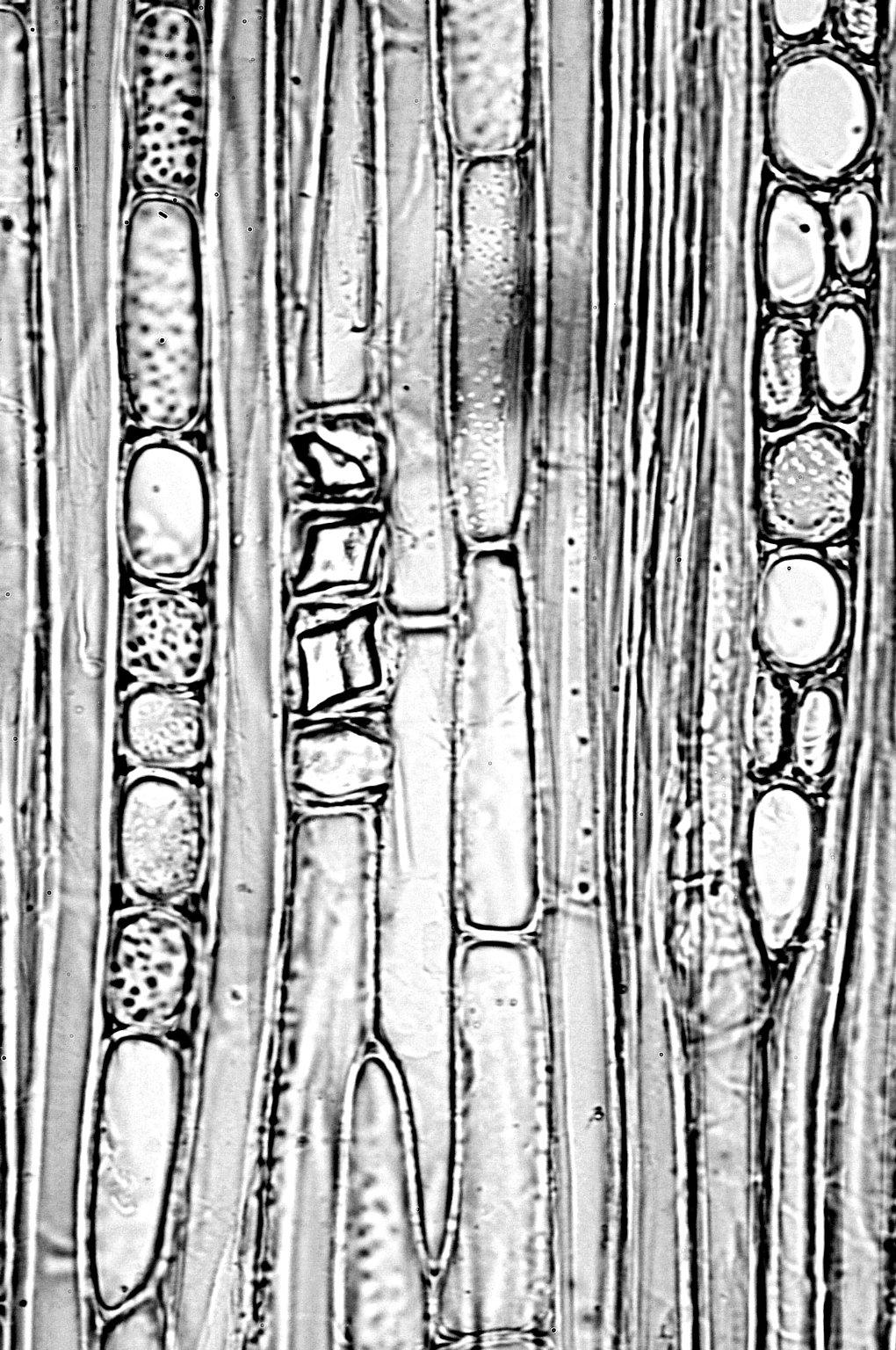 EBENACEAE Diospyros longiflora