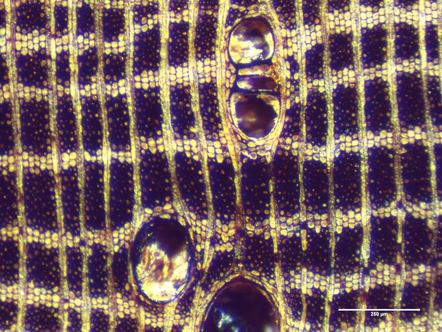 LEGUMINOSAE PAPILIONOIDEAE Dalbergia cultrata